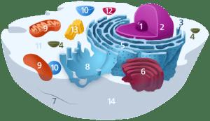La cellule du corps humain